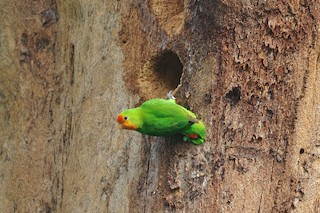 - Red-headed Lovebird