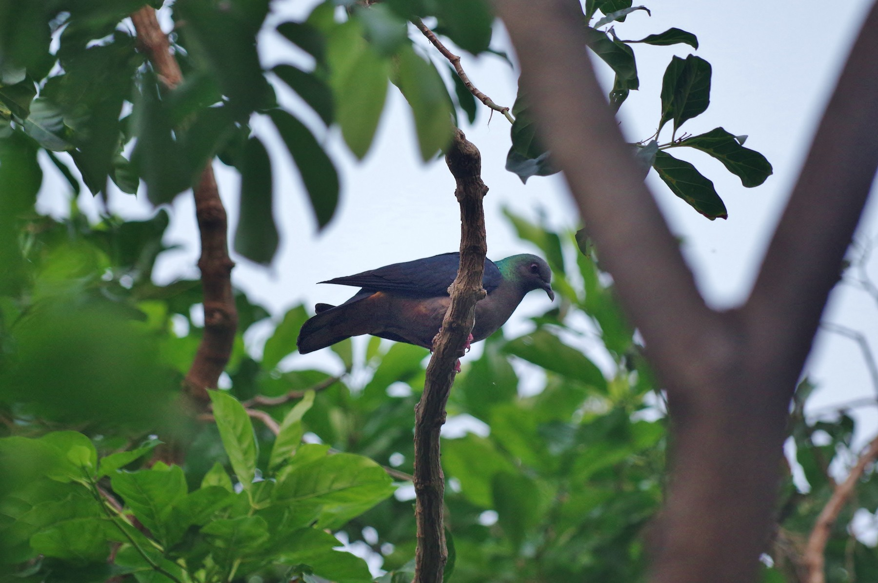 Sao Tome Pigeon - Thibaud Aronson