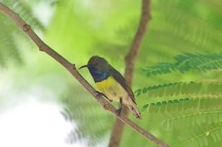 - Newton's Sunbird