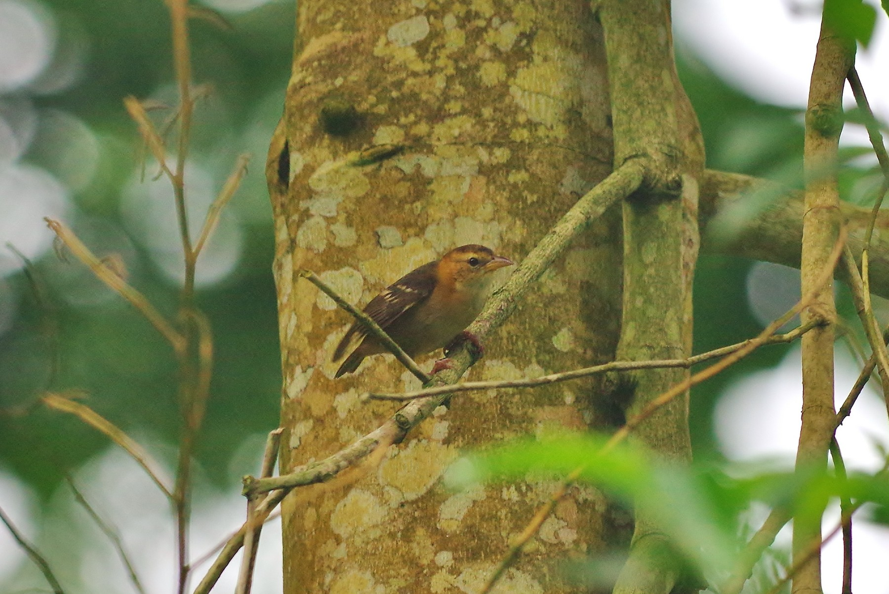 Sao Tome Weaver - Thibaud Aronson