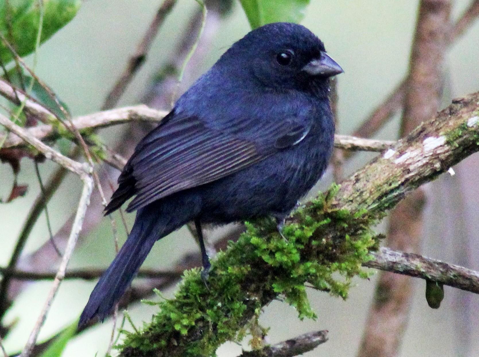 Blackish-blue Seedeater - Douglas Meyer