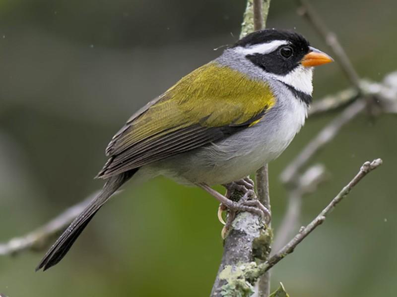 Saffron-billed Sparrow - Hudson - BirdsRio