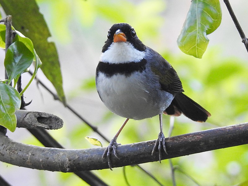 Saffron-billed Sparrow - Richard Garrigues