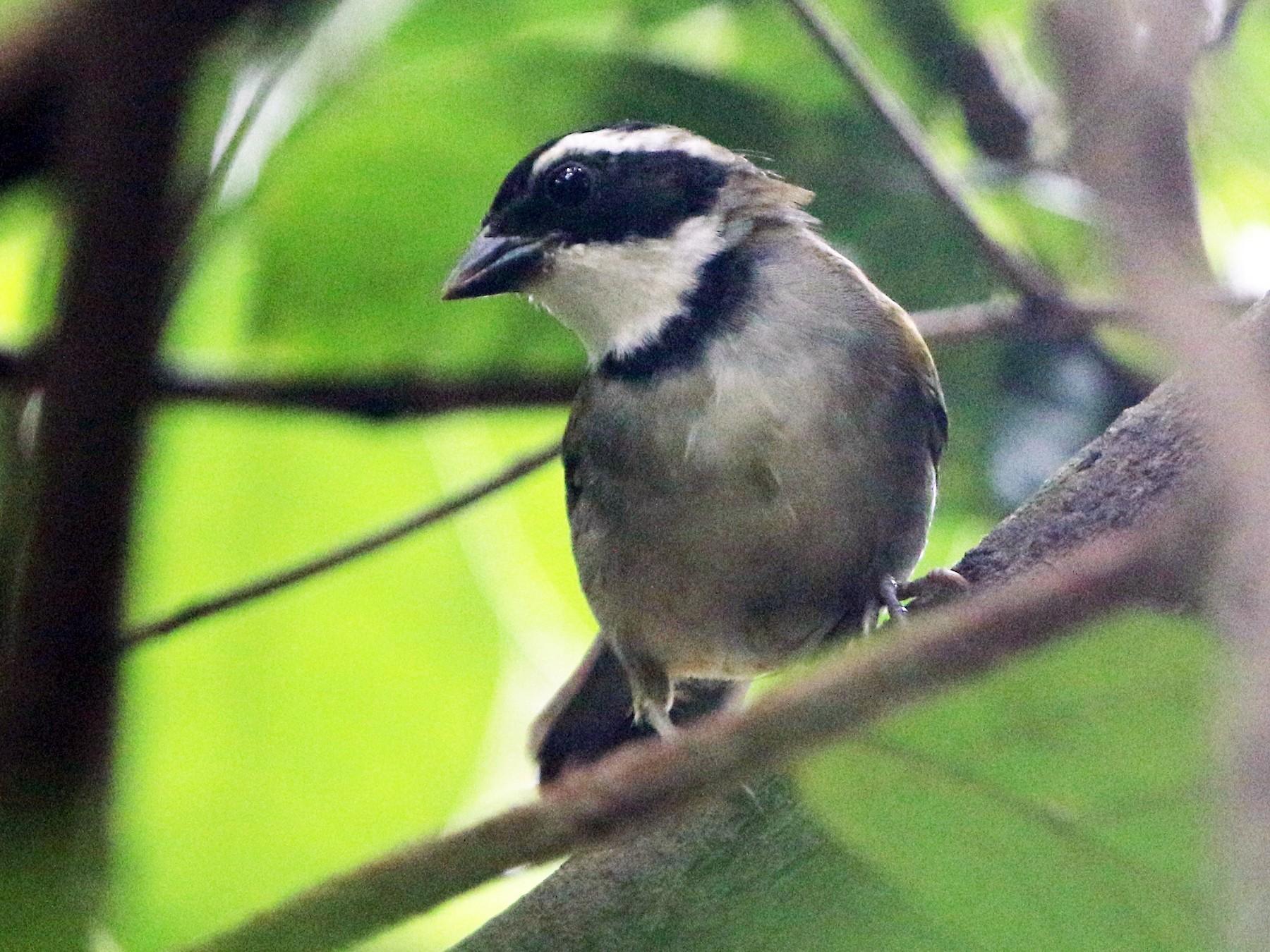 Saffron-billed Sparrow - Ian Thompson