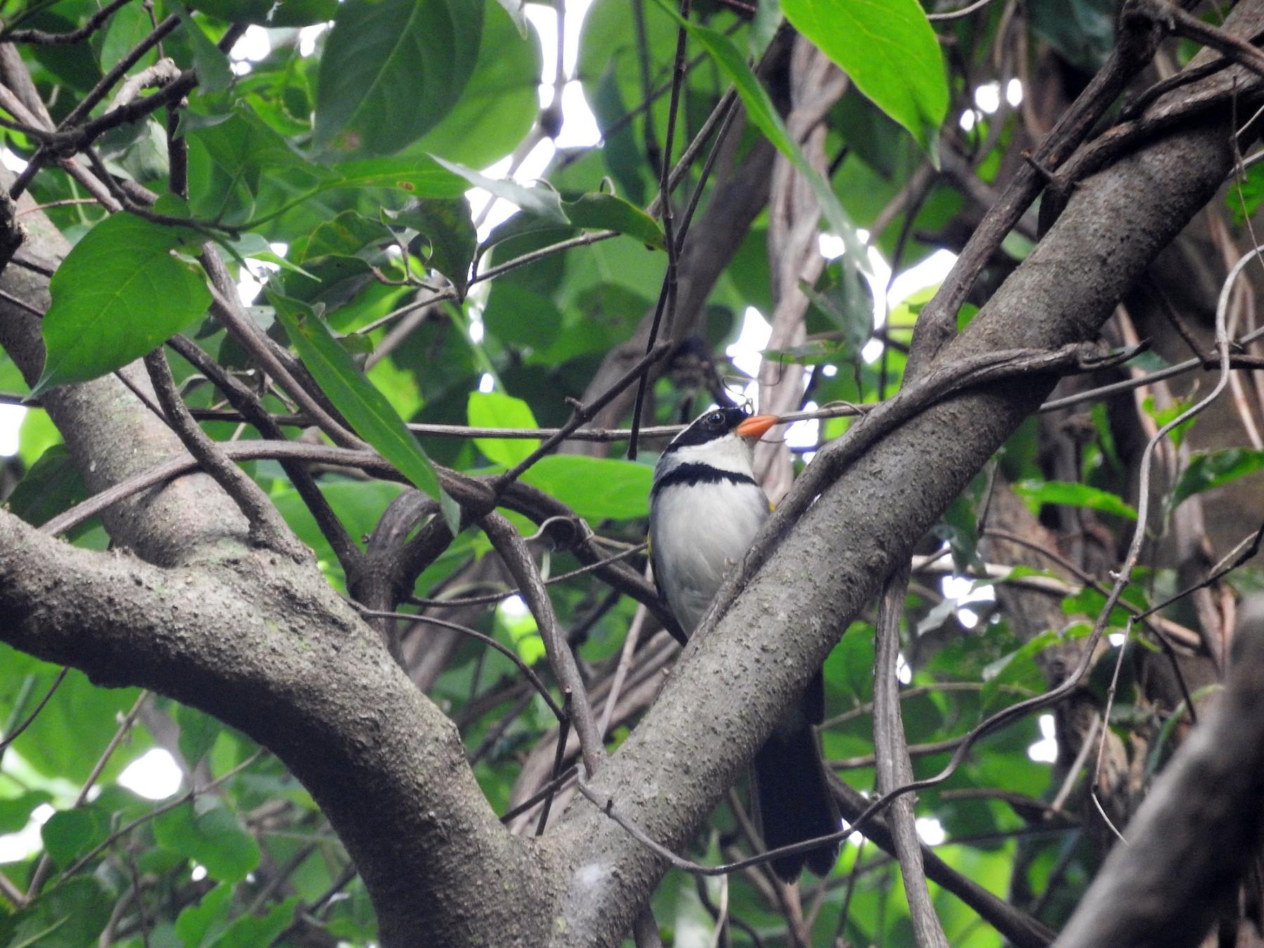 Saffron-billed Sparrow - Bruno Arantes de Andrade Bueno