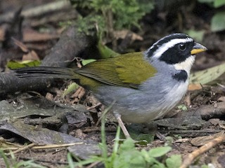 - Half-collared Sparrow