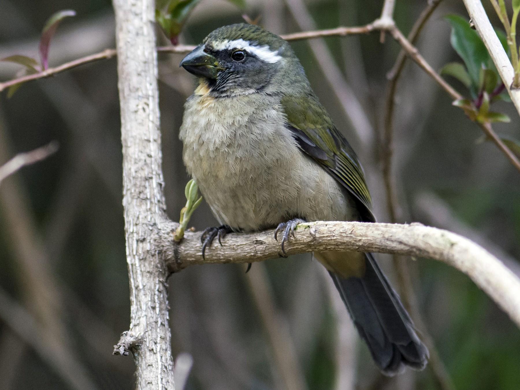 Thick-billed Saltator - Hudson - BirdsRio