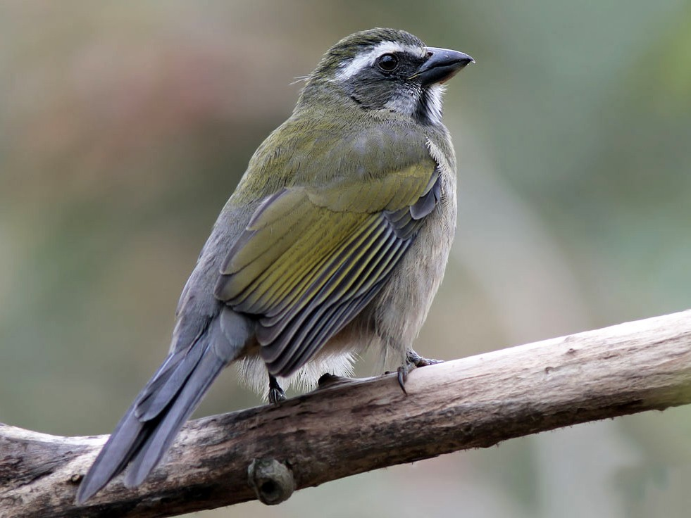 Green-winged Saltator - Alec Earnshaw