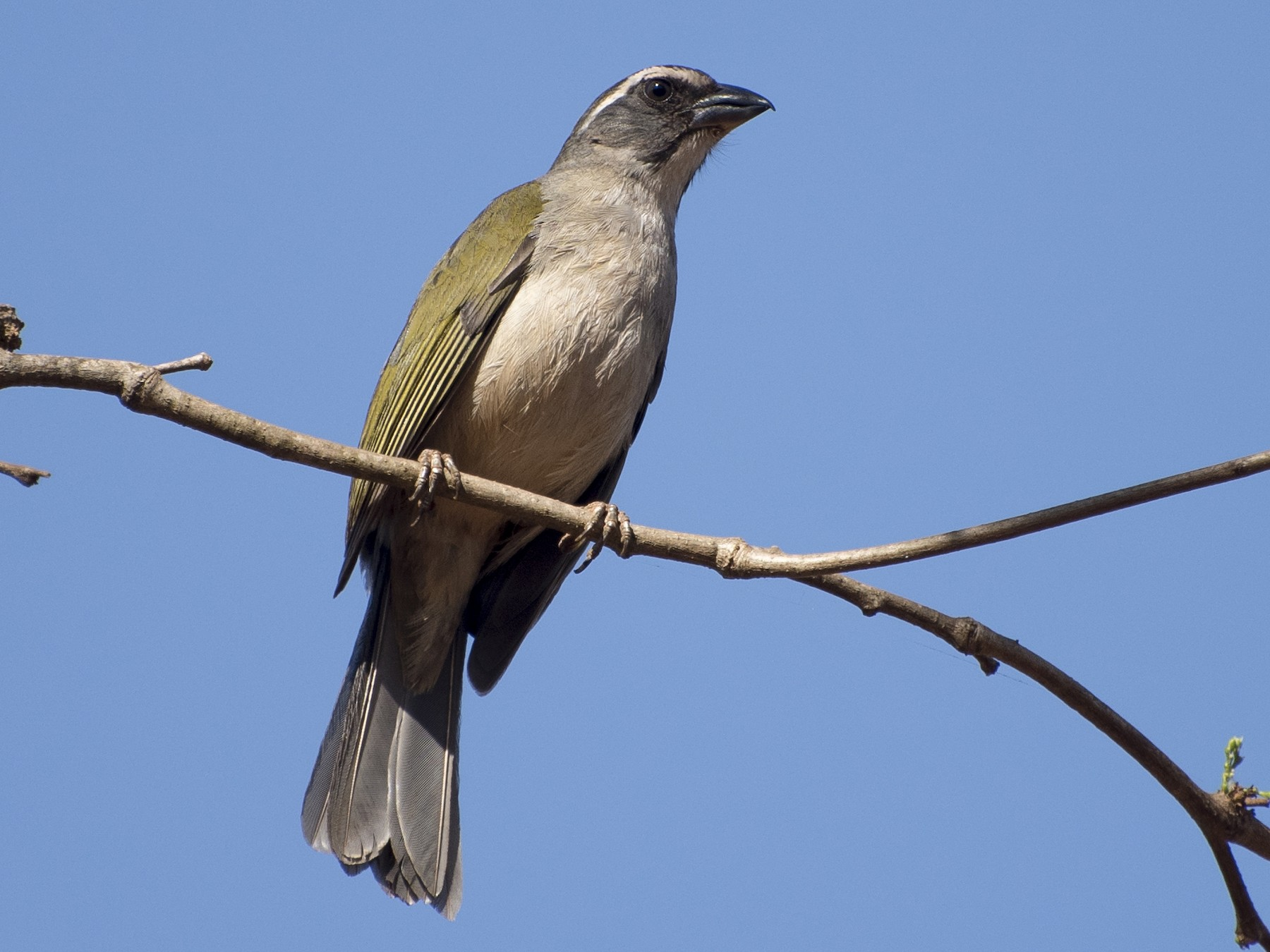 Green-winged Saltator - Luiz Carlos Ramassotti