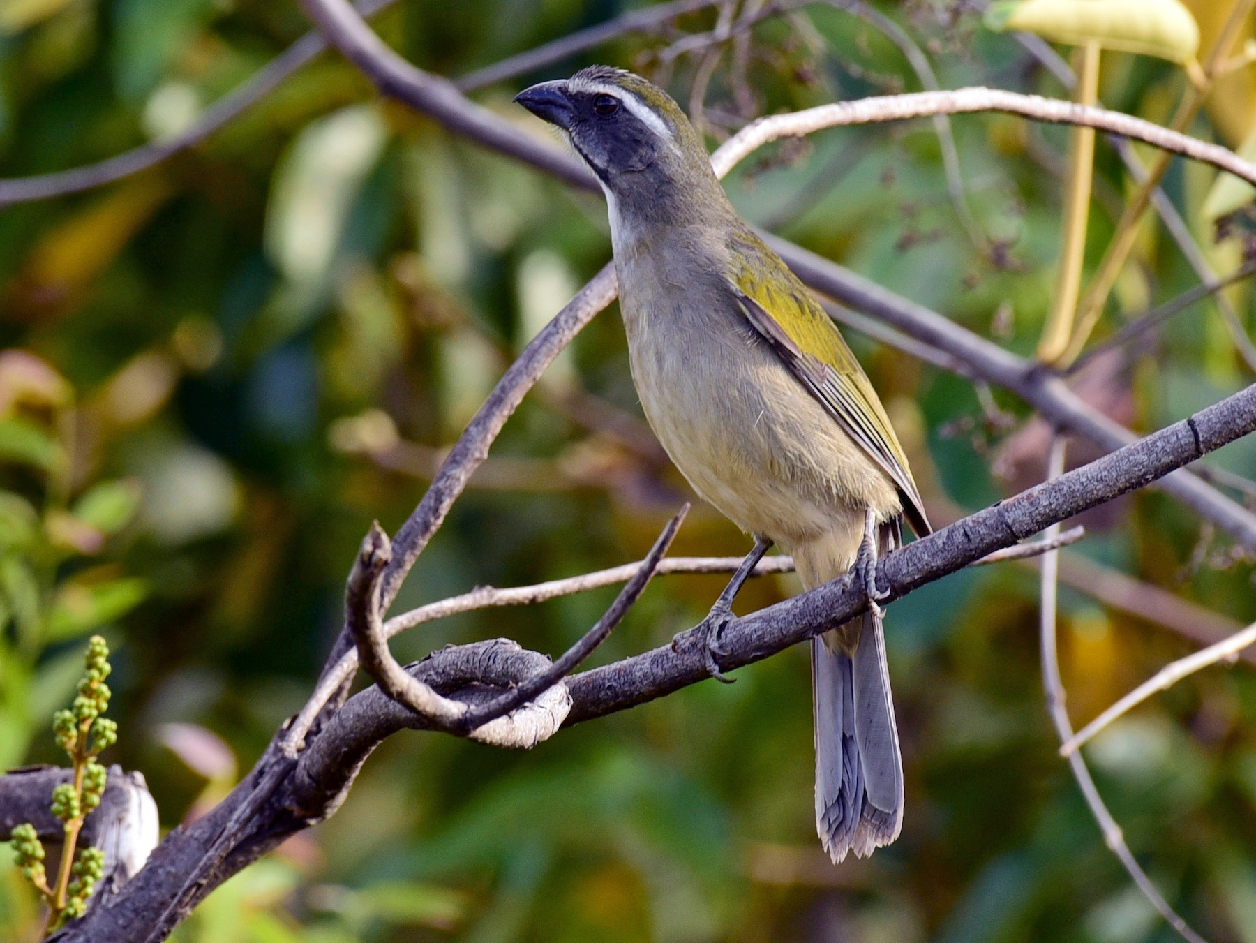 Green-winged Saltator - Luiz Moschini