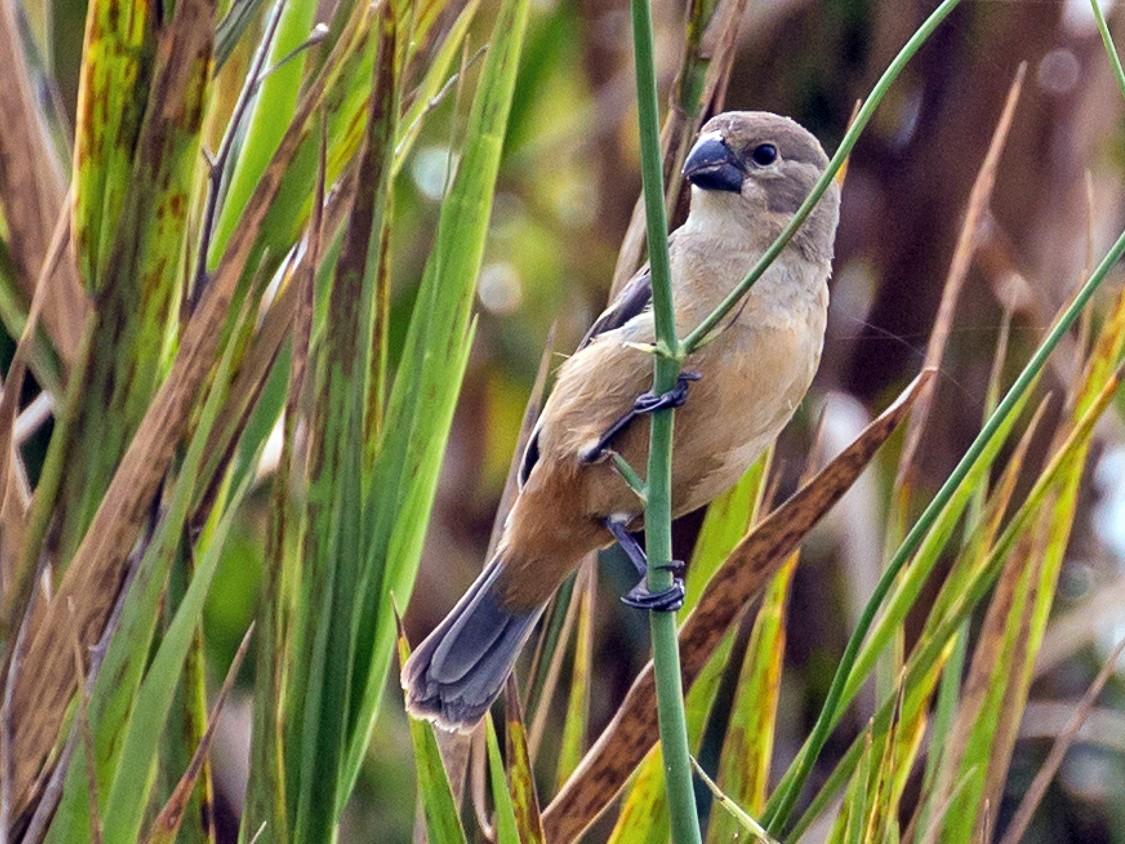 Rusty-collared Seedeater - Meg Barron