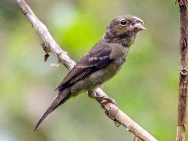 Buffy-fronted Seedeater - Roberto Dall Agnol