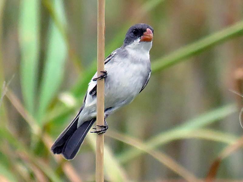 White-bellied Seedeater - Adrian Antunez