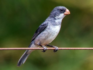 - White-bellied Seedeater