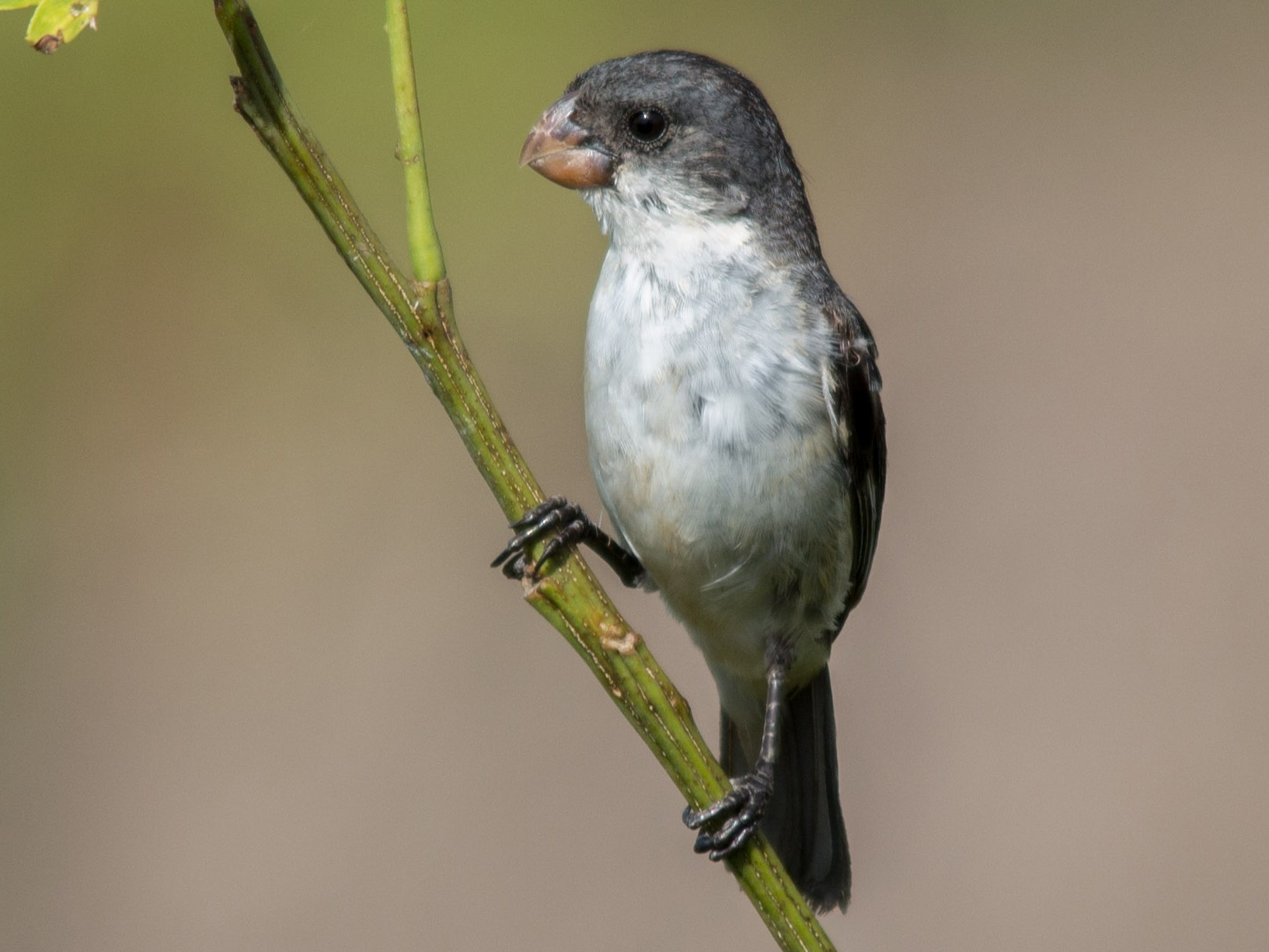 White-bellied Seedeater - João Vitor Perin Andriola