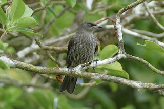 - Micronesian Starling