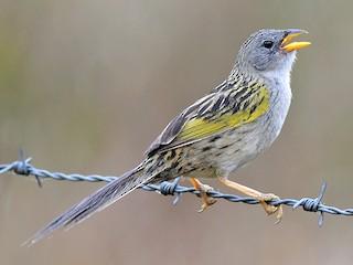 - Lesser Grass-Finch