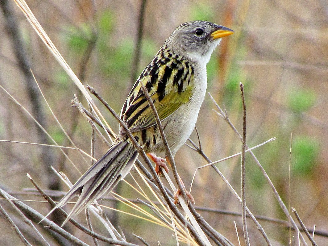 Lesser Grass-Finch - Fabricio Gorleri