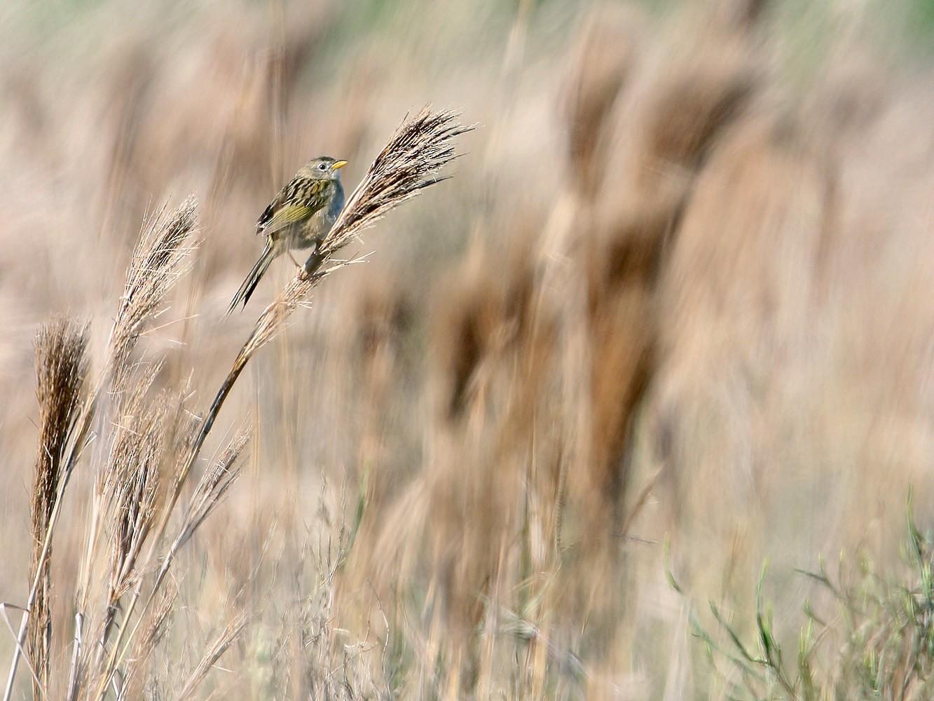 Lesser Grass-Finch - Martjan Lammertink