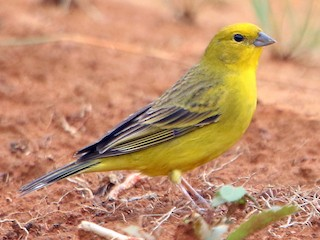 - Stripe-tailed Yellow-Finch