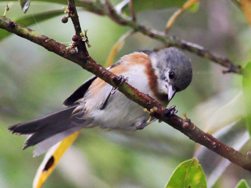 Bay-chested Warbling-Finch - Michael Todd
