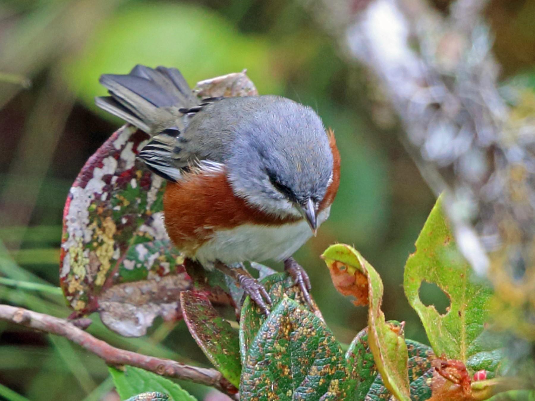 Bay-chested Warbling-Finch - Nigel Voaden