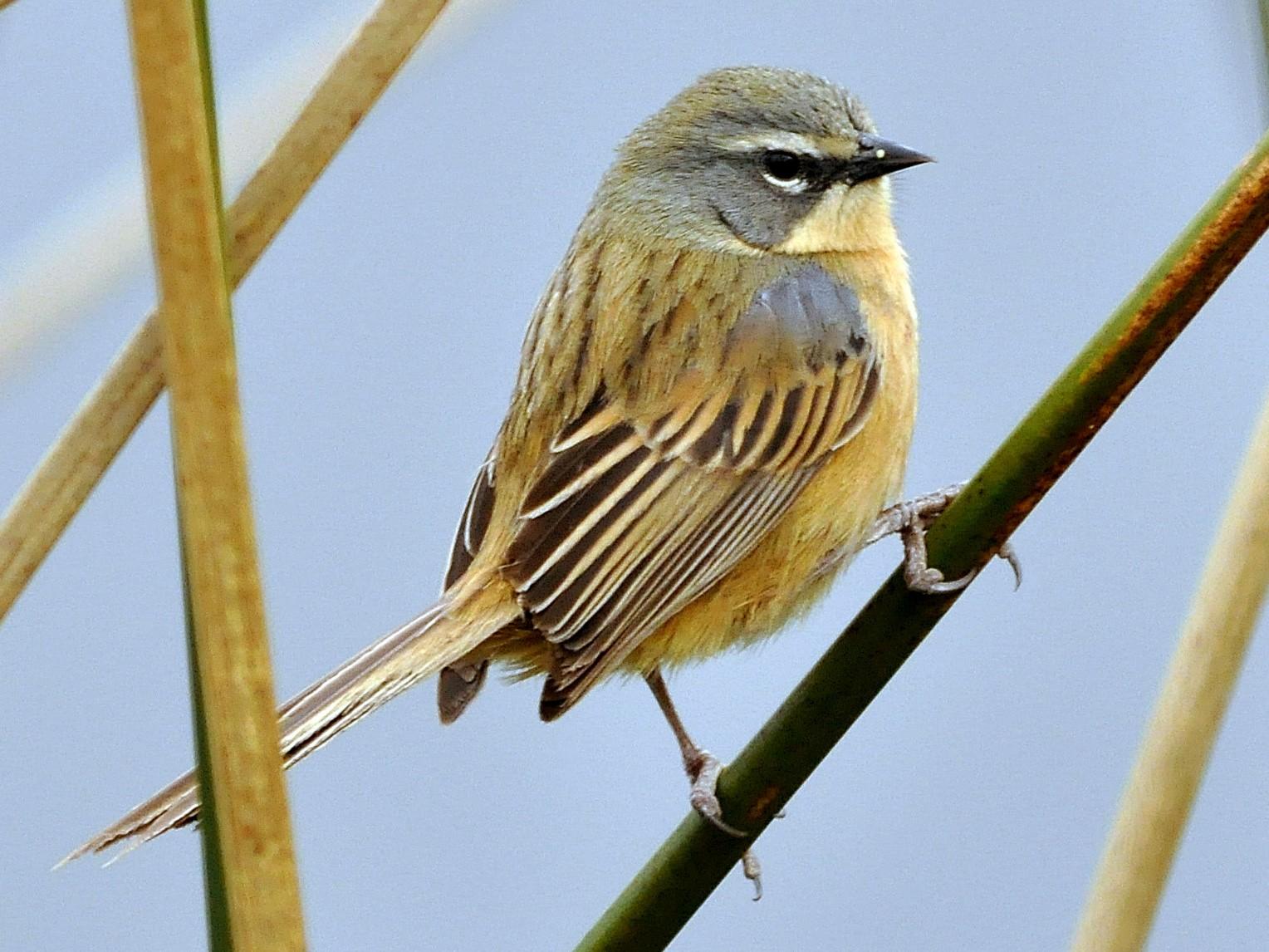 Long-tailed Reed Finch - Fermin Zorrilla
