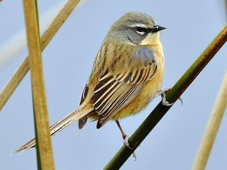 - Long-tailed Reed Finch