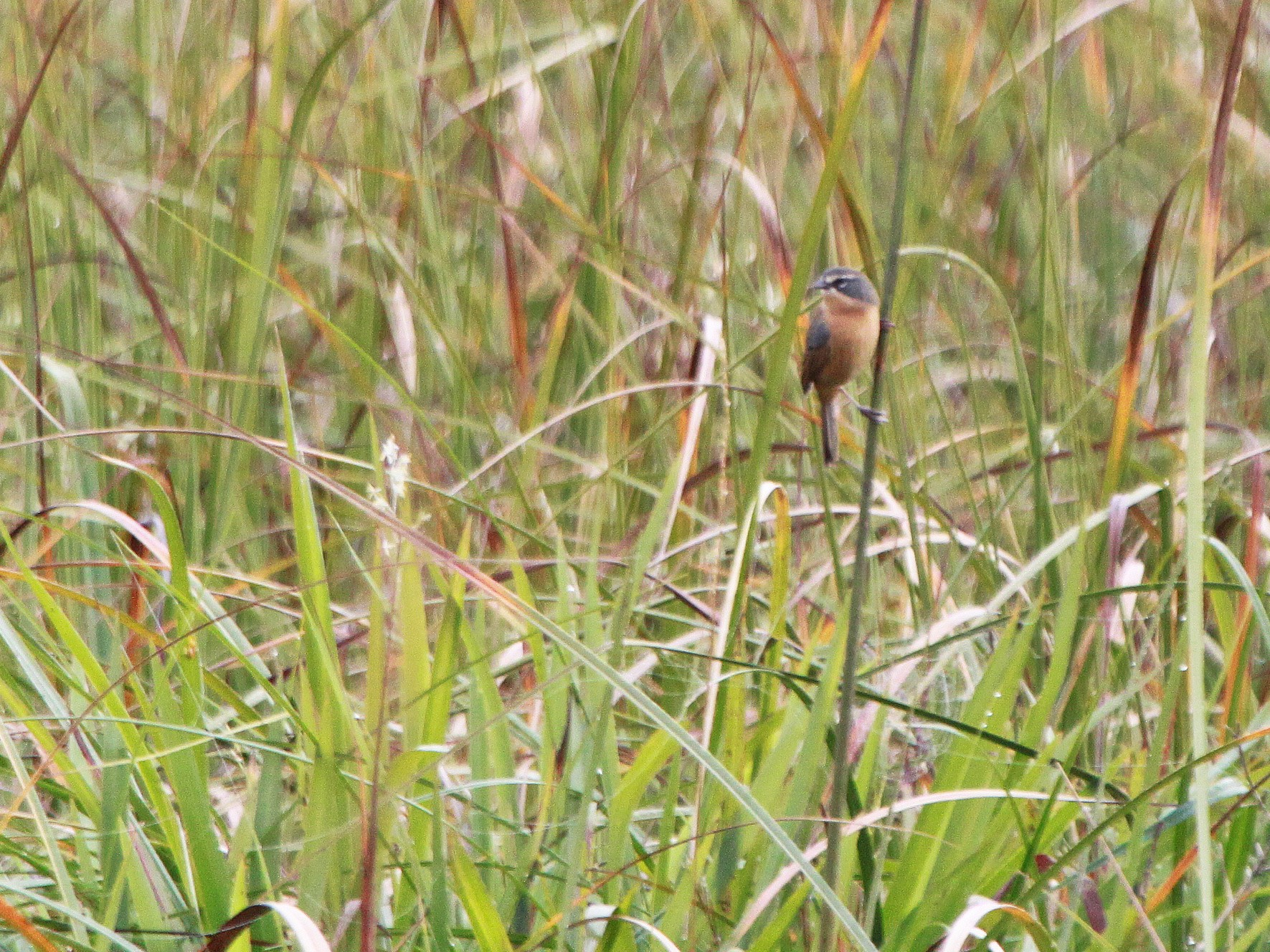 Long-tailed Reed Finch - Alexander Lees