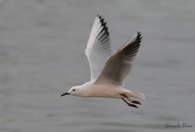 ©Gonçalo Elias - Slender-billed Gull