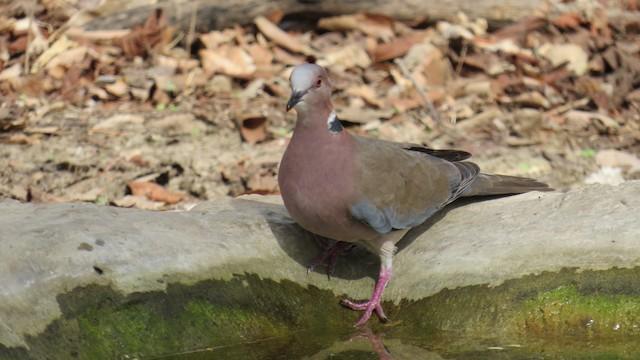 Sunda Collared-Dove