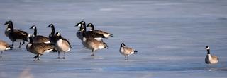 Cackling Goose, ML83367791