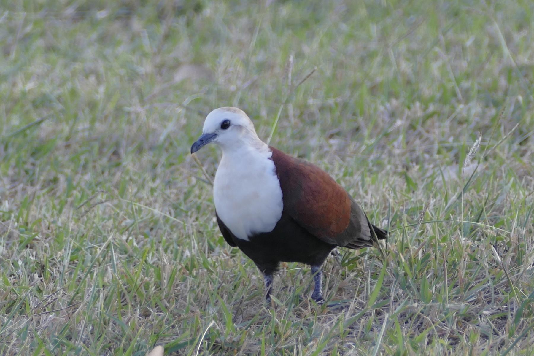 White-throated Ground Dove - Peter Kaestner