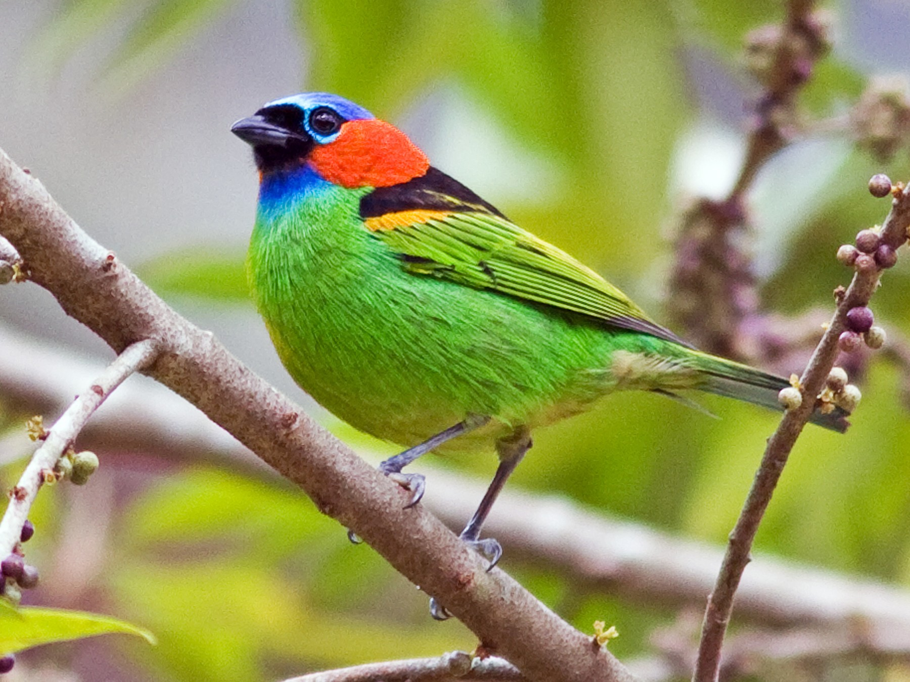 Red-necked Tanager - Marbry Hopkins