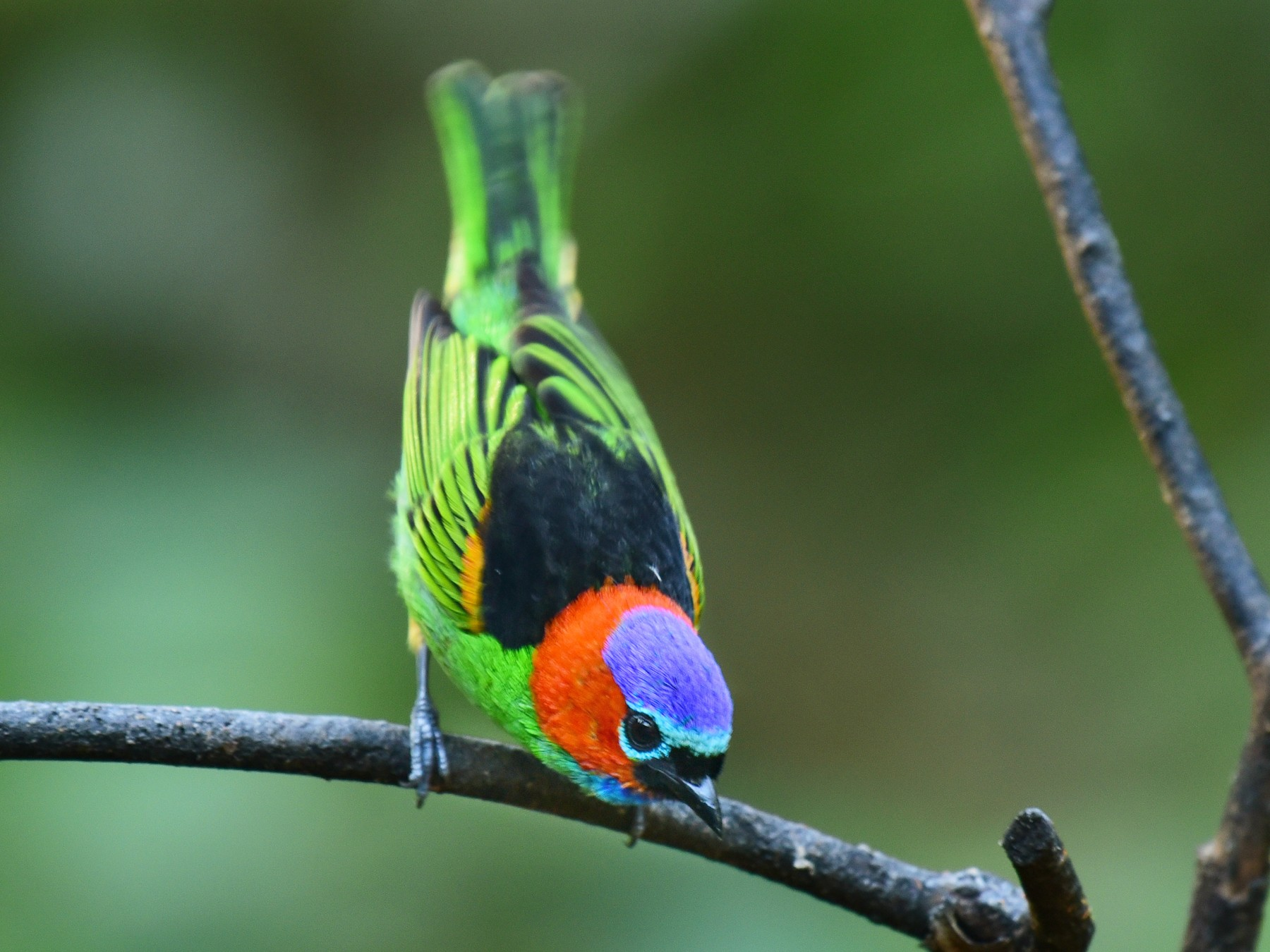 Red-necked Tanager - Luiz Moschini