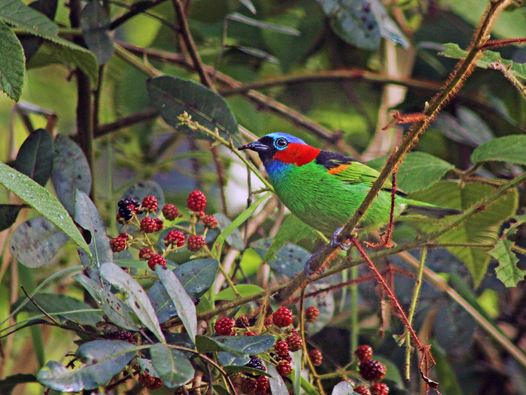 Red-necked Tanager - Rafael Romagna