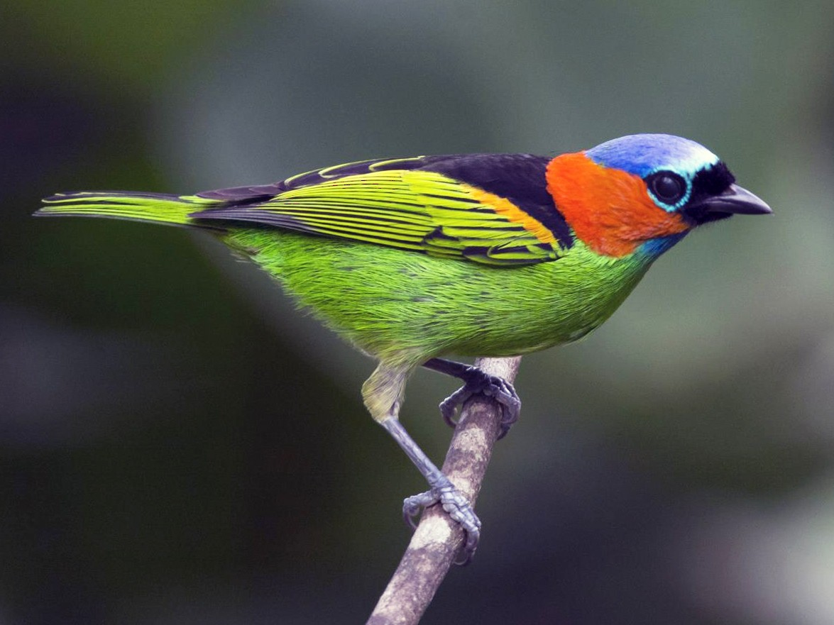 Red-necked Tanager - Marco Silva