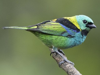 - Green-headed Tanager