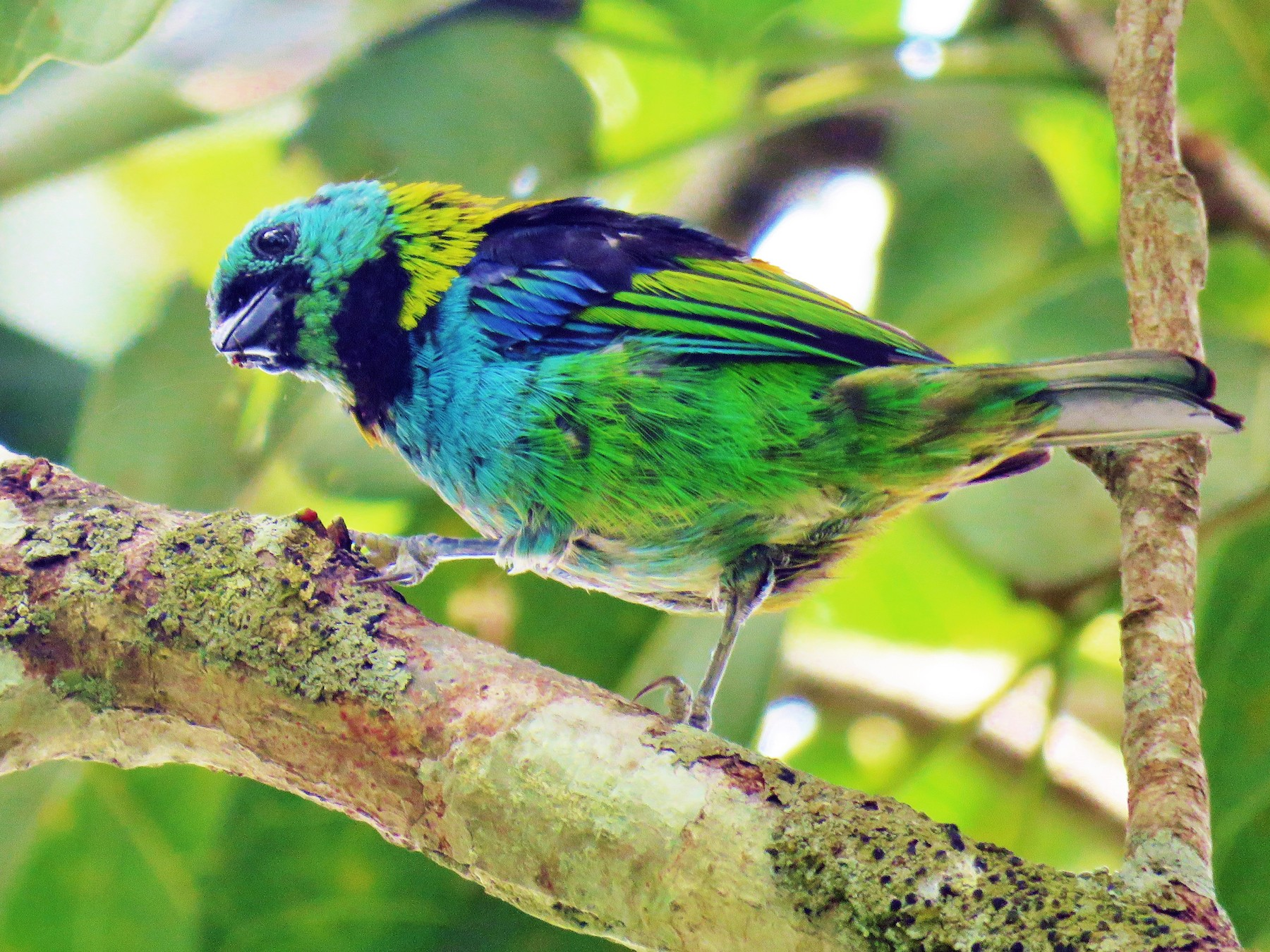 Green-headed Tanager - Thomas Gibson