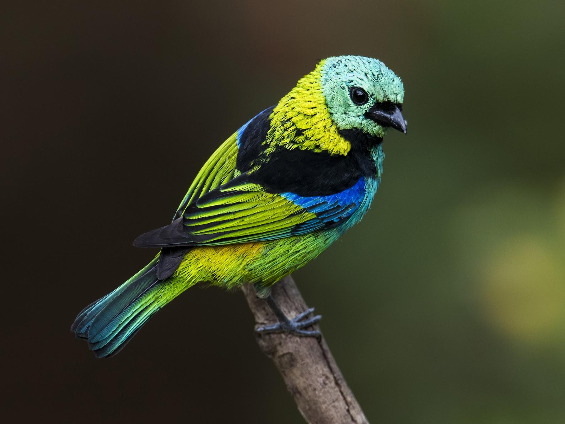 Green-headed Tanager - Claudia Brasileiro