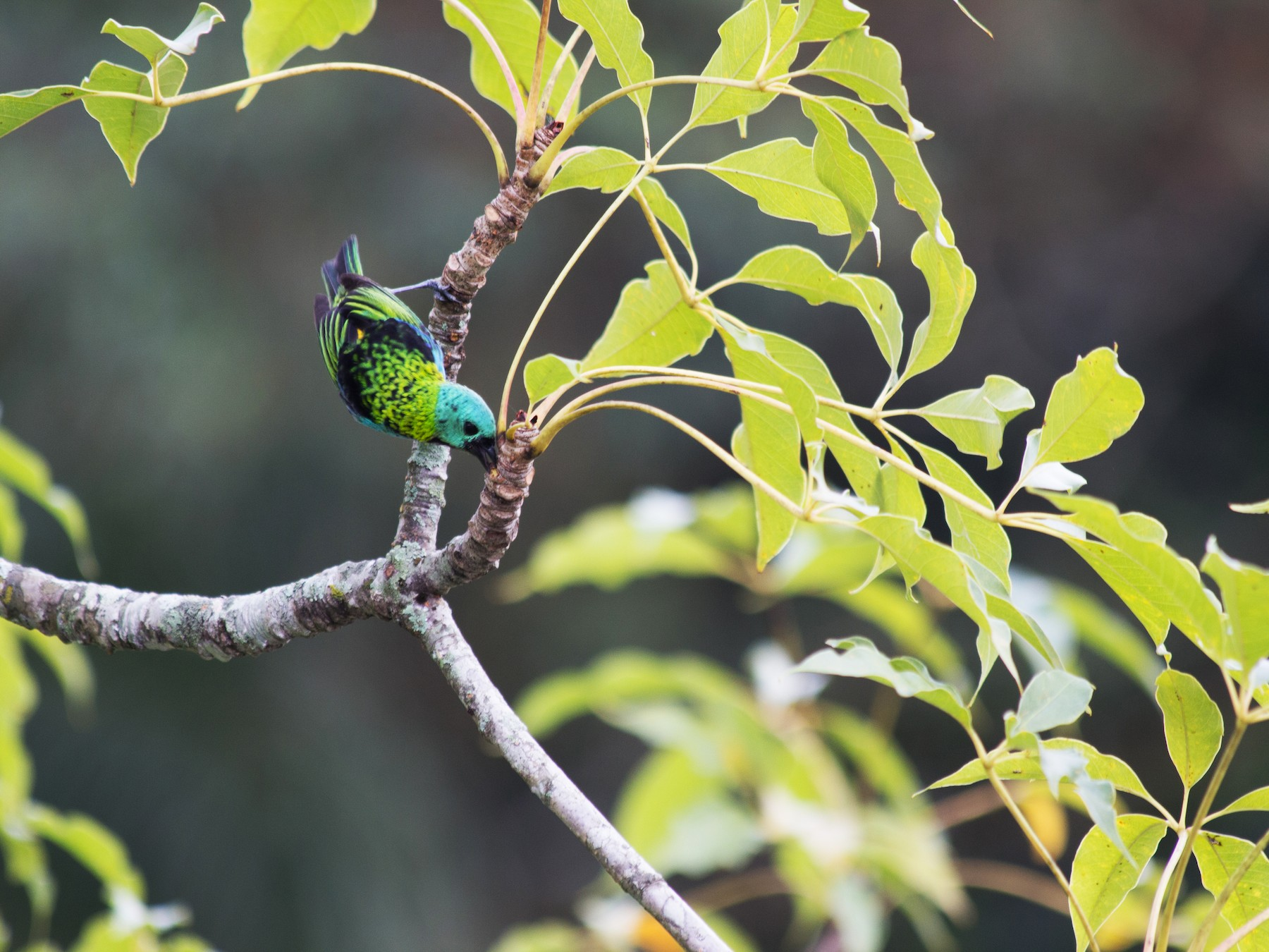 Green-headed Tanager - André  Zambolli
