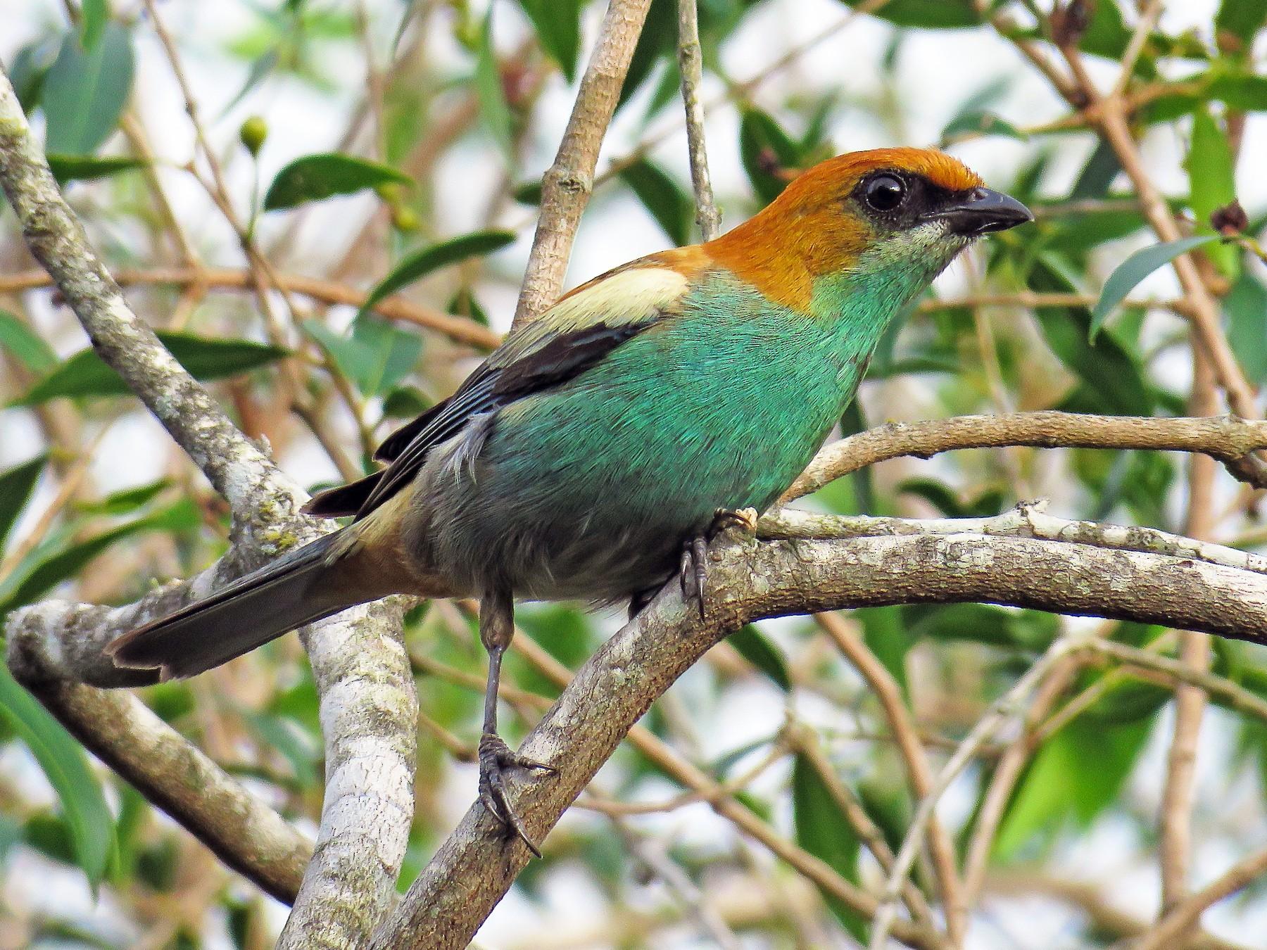 Chestnut-backed Tanager - Raphael Kurz -  Aves do Sul
