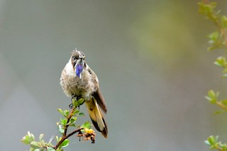 - Blue-bearded Helmetcrest