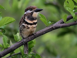 - Russet-throated Puffbird (Two-banded)