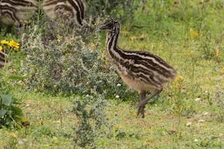 Emu, ML83613511