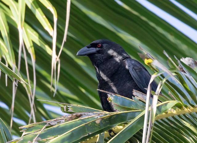 White-necked Crow