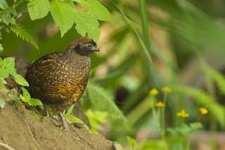 - Black-fronted Wood-Quail