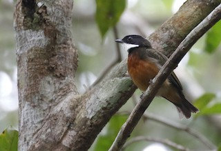 - Flame-crowned Manakin