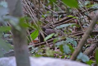 Cinereous Tinamou, ML83685301