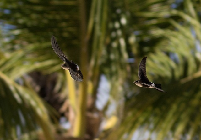 Antillean Palm-Swift